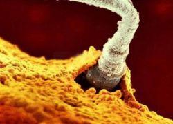 как оплодотворяется яйцеклетка