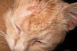 отрубевидный лишай у кошек фото