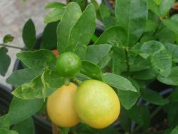Лимонелла уход
