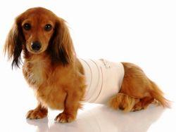 у собаки ложная беременность что делать