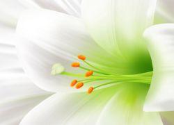 Фото белая лилия цветок фото