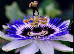 Пассифлора выращивание из семян в домашних условиях