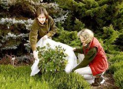 Нужно ли укрывать пионы на зиму