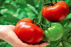 подкормка томатов в период плодоношения