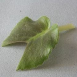 Размножение фиалок листом в домашних условиях