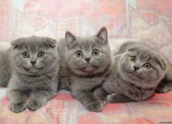Характер шотландцев котов