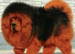 фото собак порода мастиф