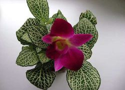 фиттония цветение фото