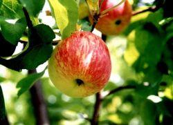 Яблоня штрифель