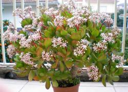 Комнатное растение денежное дерево как цветет