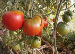 Детерминантные томаты что это такое