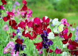 Душистый горошек выращивание из семян, особенности посадки и ухода