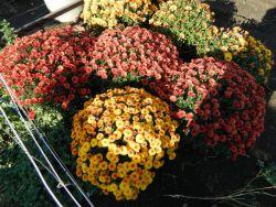 Кулясті хризантеми як зберегти взимку