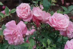 Надо ли обрезать розы на зиму