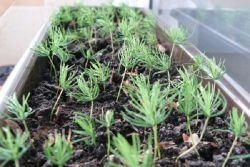 Смотреть Цинерария серебристая - выращивание из семян видео