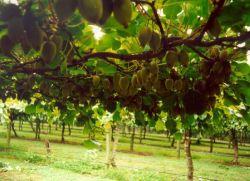 for Kiwi albero