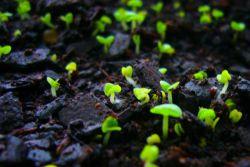 как вырастить маргаритку из семян