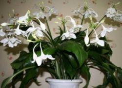 Почему не цветет эухарис в домашних условиях