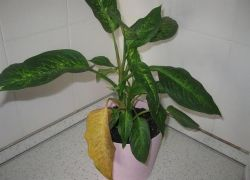 Диффенбахия желтеют листья