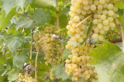 Виноград русбол описание сорта фото