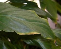 Почему сохнут кончики листьев у спатифиллума