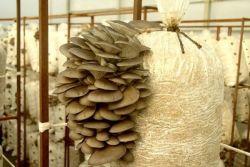Вешенки выращивание в домашних условиях