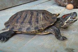 Уход за водными черепахами
