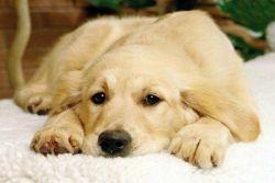 Успокоительные для собак мелких пород