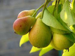 фото груша дерево