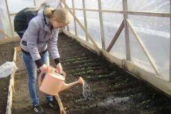 выращивание в теплице зимой