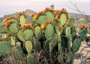 съедобные плоды кактуса 1