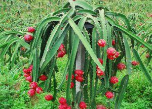 съедобные плоды кактуса 3