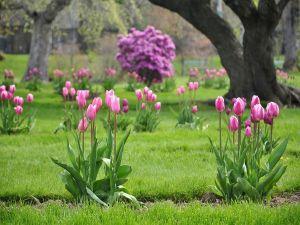На какую глубину сажать тюльпаны