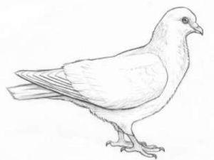 Как поэтапно нарисовать карандашом голубя детям 28