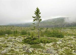 Самое старое дерево в мире1