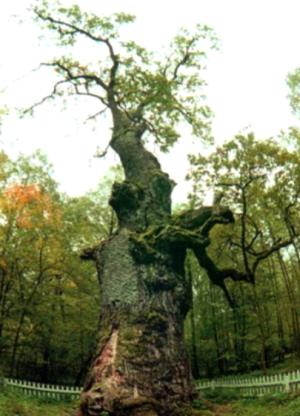 Самое старое дерево в мире10