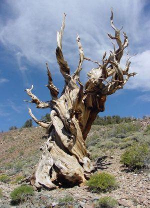 Самое старое дерево в мире2
