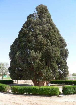 Самое старое дерево в мире3