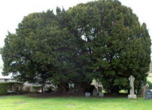 Самое старое дерево в мире4