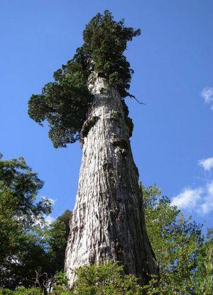 Самое старое дерево в мире5