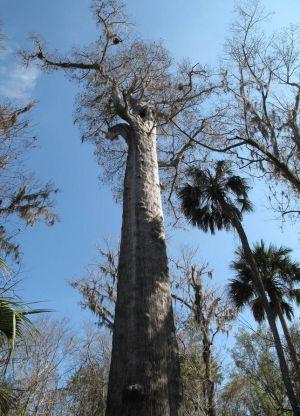Самое старое дерево в мире6