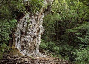 Самое старое дерево в мире7