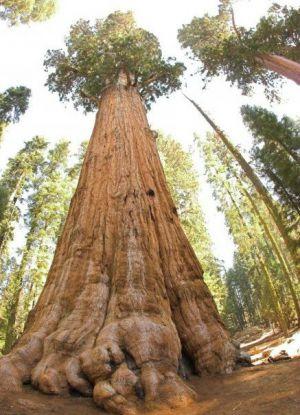 Самое старое дерево в мире8