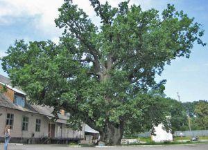 Самое старое дерево в мире9
