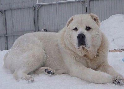 Сторожевая собака для частного дома фото