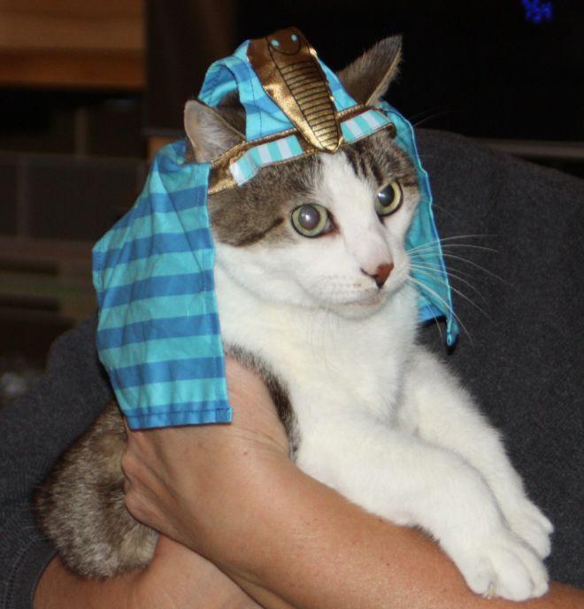 Фараон кот фото