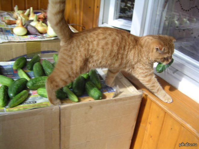 Кот вегетарианец
