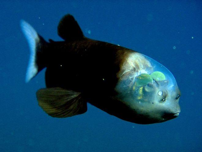 Полупрозрачная рыба