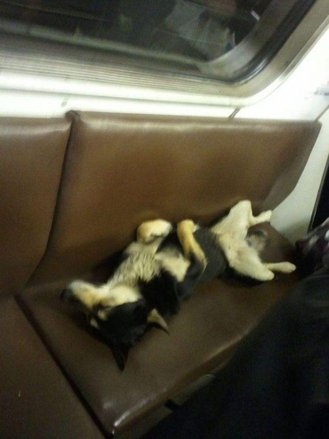 Собака в общественном транспорте