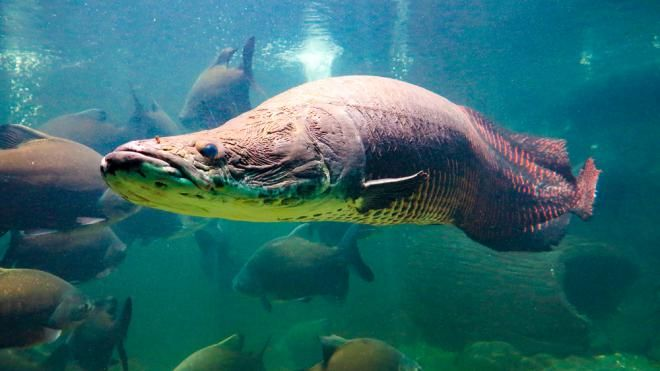 6 самых опасных существ, обитающих в Амазонке
